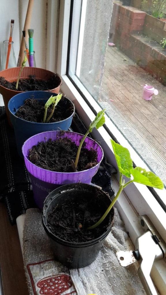 Growing Runner Beans
